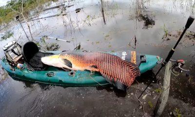 Homem pesca pirarucu de 2 metros e 100 quilos no Rio Madeira